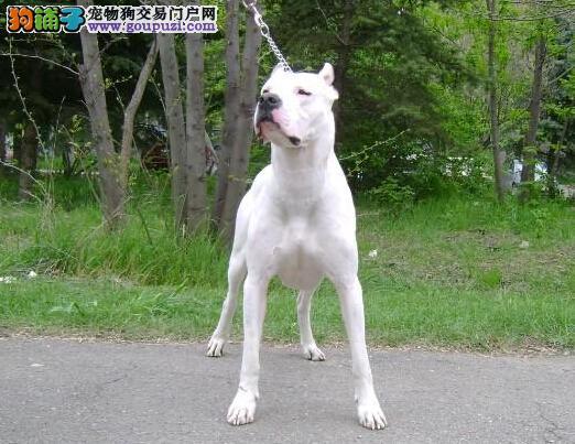 文山州极品纯种杜高犬出售 杜高幼犬保证健康疫苗已打