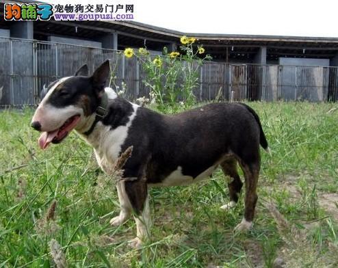 出售极品纯种血统的牛头梗幼犬