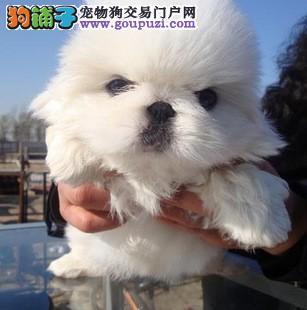 郑州实体店低价促销赛级京巴幼犬欢迎实地挑选
