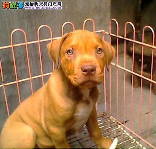 比特犬 不以价格惊天下 但以品质惊世人微信看狗可见父母