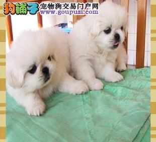国际注册犬舍 出售极品赛级京巴幼犬签订协议包细小犬瘟热