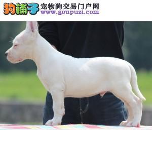 天津出售杜高犬幼犬 保证血统纯正 公母都有可上门看狗