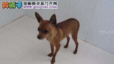 杭州专业的小鹿犬犬舍终身保健康微信看狗可见父母2