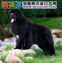 精品纽芬兰犬幼犬一对一视频服务买着放心济南当地上门挑选