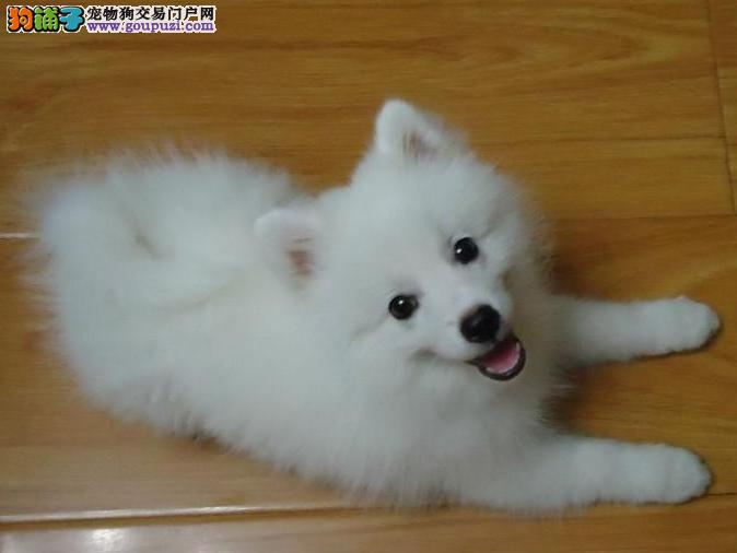 三亚最大的银狐犬基地 完美售后优惠出售中狗贩子勿扰3
