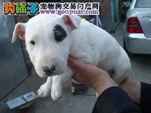 重庆犬舍直销牛头梗幼犬纯白色海盗眼牛头梗犬血统纯正