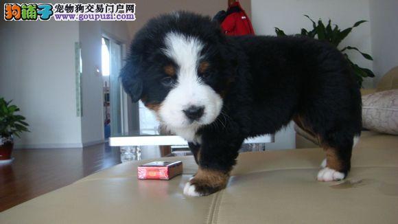 CKU犬舍认证出售纯种伯恩山送用品送狗粮