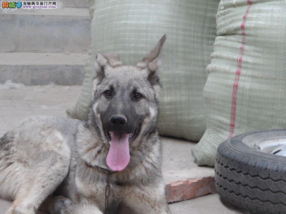 CKU犬舍认证天津出售纯种狼狗专业品质一流