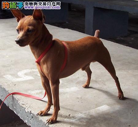 北京出售极品小鹿犬幼犬完美品相全国质保全国送货图片