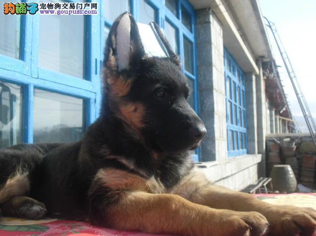 正规犬舍有多只昆明幼犬出售品质好签协议