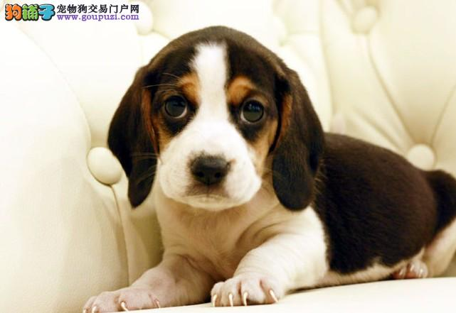 CKU注册犬业出售双冠赛级纯种比格幼犬-质保三年签协议