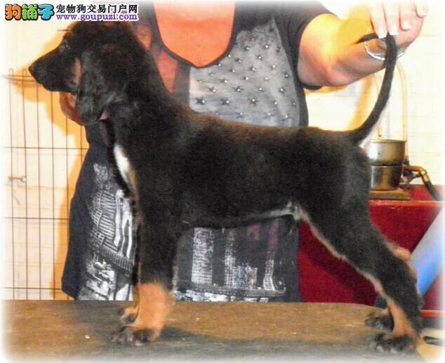 家养多只长沙阿富汗猎犬宝宝出售中以品质惊世人