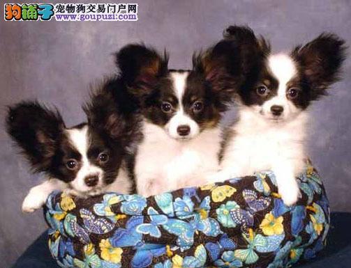 家养漂亮可爱蝴蝶犬宝宝一窝宝宝低价出售包纯种健康
