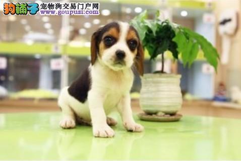 狗场直销 cku认证血统 比格犬 英国皇家猎兔犬