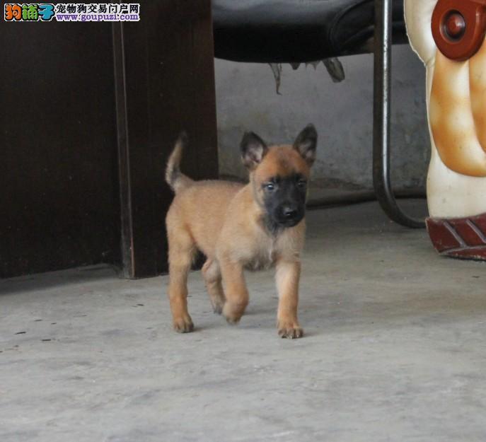 出售纯种健康的厦门马犬幼犬可直接微信视频挑选2