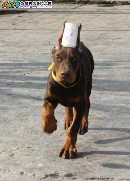出售极品杜宾犬幼犬完美品相当地上门挑选