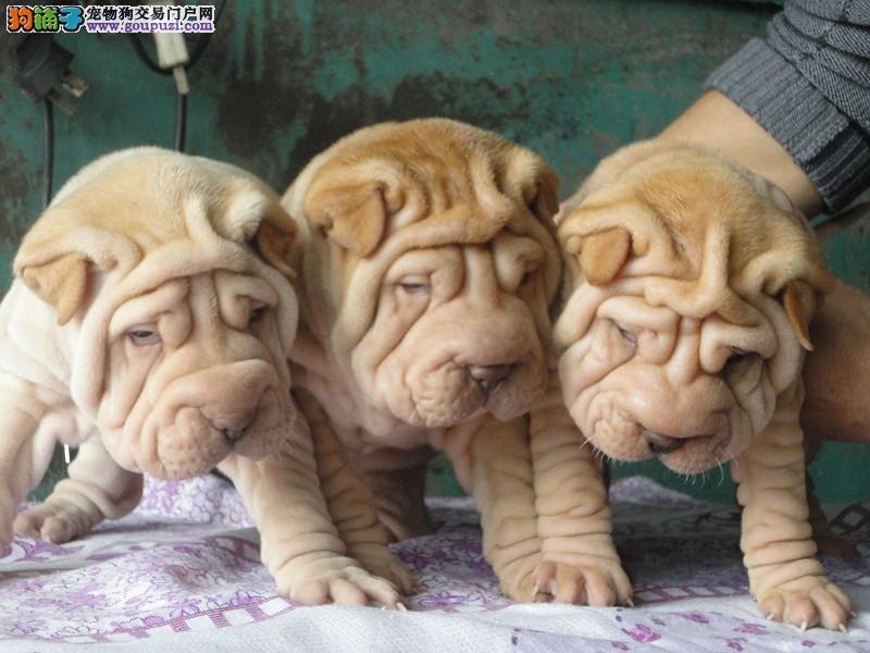 纯种沙皮狗出售 大皱脸沙皮 幼犬多只 可上门签协议