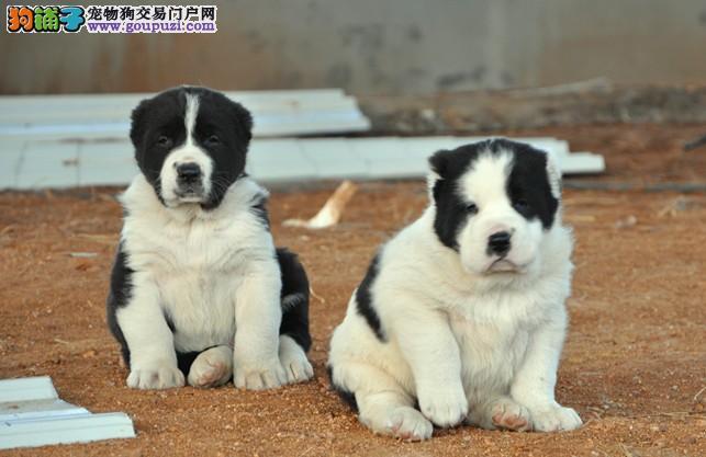 出售中亚牧羊犬 公母都有 已打疫苗 可上门挑选 包售后