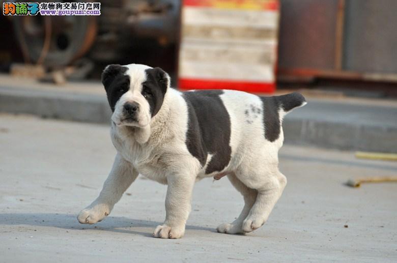 赛级中亚牧羊犬幼犬、专业繁殖包质量、全国送货上门2
