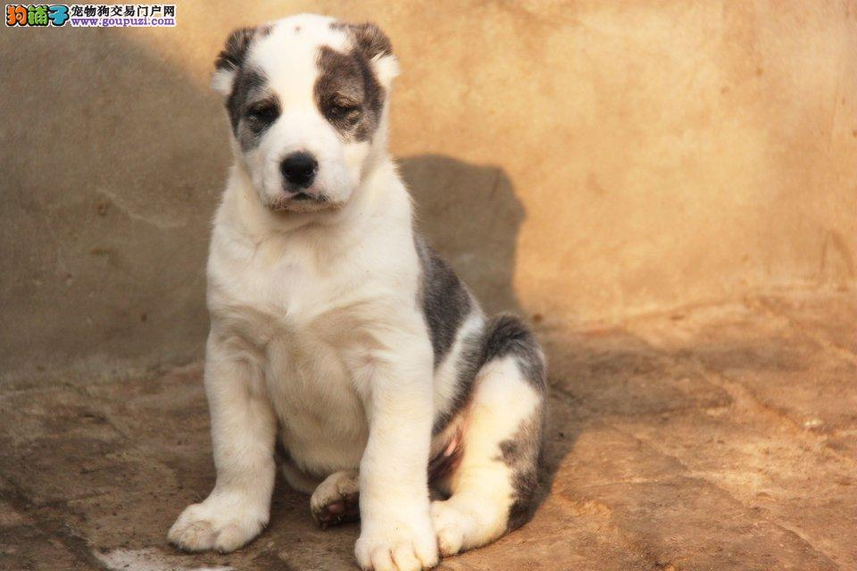 长沙守卫犬中亚牧羊犬出售 沉稳冷静中亚牧羊犬保品质3