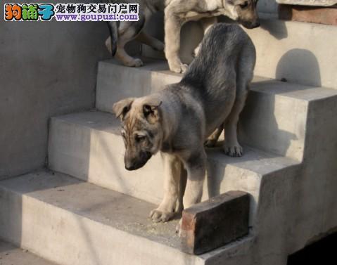 纯种德国牧羊犬黑背狼狗 骨骼大骨量足出售中 包售后