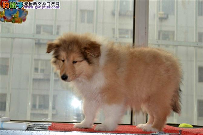 AC犬业联保专业繁殖双赛苏牧幼犬签法律合同质保三年