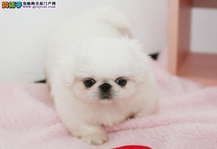 超低价出售高品质京巴犬等各种名犬欢迎上门选购