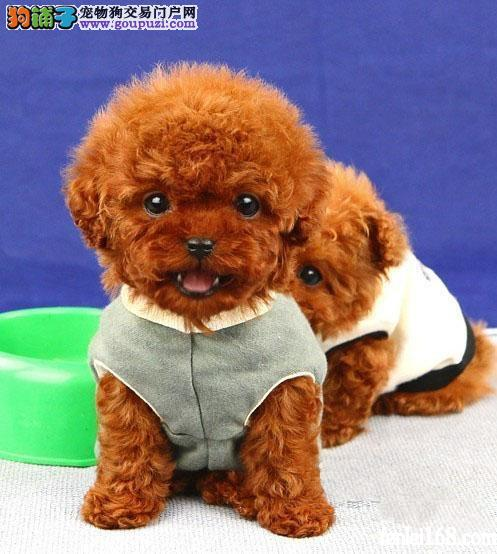 张家界售小体茶杯犬泰迪宝宝 卷毛贵宾犬幼犬欢迎选购