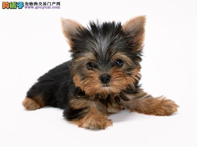 约克夏 约瑟犬 梗类犬 最具有气质的狗狗