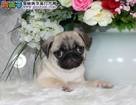 北京出售纯正鹰版满脸褶皱巴哥犬幼犬宝宝专业繁殖