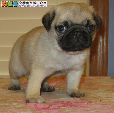 吐鲁番售纯种憨厚老实巴哥幼犬 虎头满脸褶子短毛八哥犬