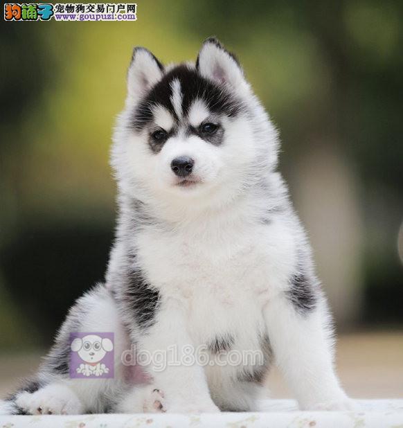 北京哈士奇犬舍出售高品质双蓝眼三把火精品哈士奇幼犬