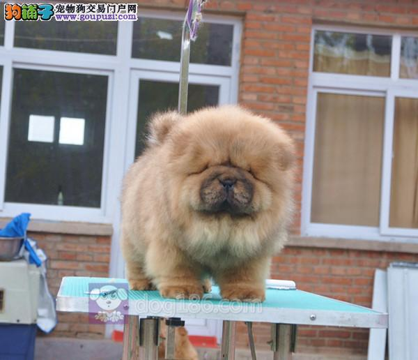 中国高端松狮犬繁育专家北京松狮犬舍出售顶级松狮幼犬2