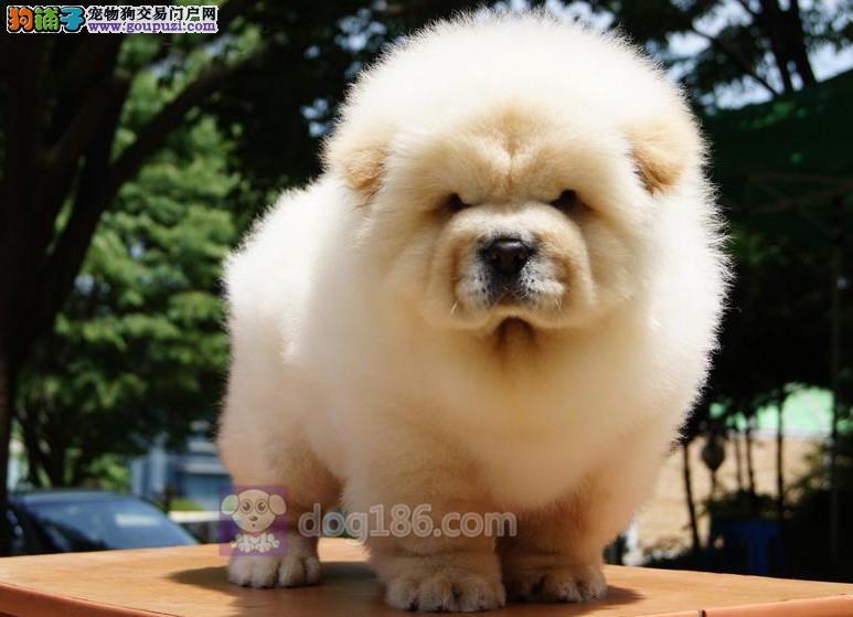 中国高端松狮犬繁育专家北京松狮犬舍出售顶级松狮幼犬3
