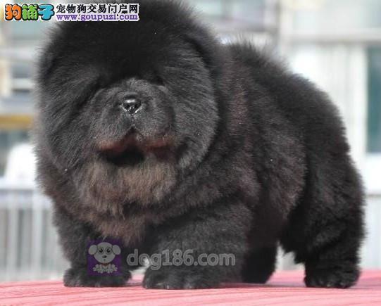 中国高端松狮犬繁育专家北京松狮犬舍出售顶级松狮幼犬1