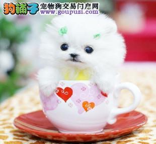 实物拍摄的茶杯犬找新主人价格特优惠哦3