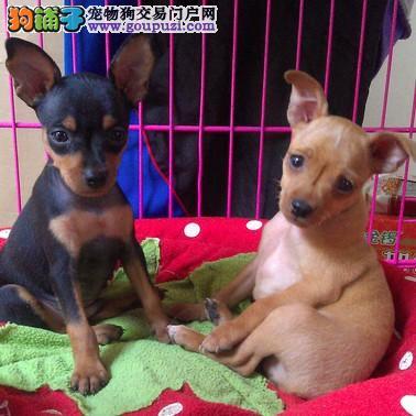 出售纯种宠物狗宝宝小鹿犬*提供售后服务