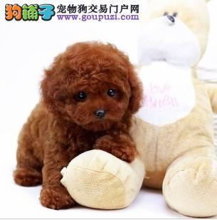 青岛自家狗场繁殖直销茶杯犬幼犬欢迎您的指导1