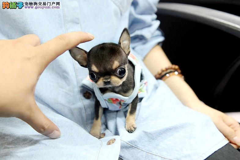 韩国进口苹果头超可爱吉娃娃幼犬/健康纯种品质保证