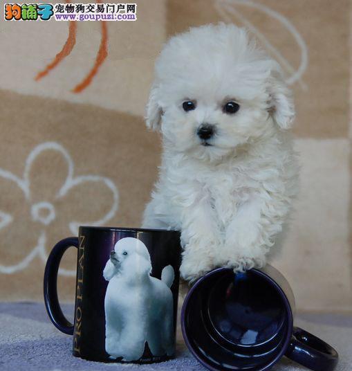 韩国进口纯种健康的玩具体茶杯体红色 咖啡色泰迪热卖3