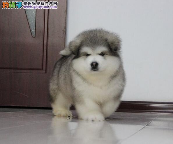 冠军品质的传承!专业繁殖巨型熊版纯种阿拉斯加雪橇犬2