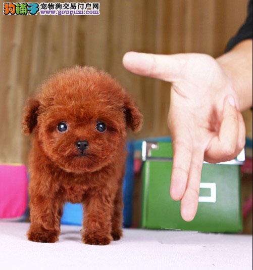 犬舍纯种健康的玩具体茶杯体红色 咖啡色泰迪热卖