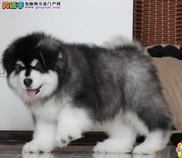 冠军品质的传承!专业繁殖巨型熊版纯种阿拉斯加雪橇犬3
