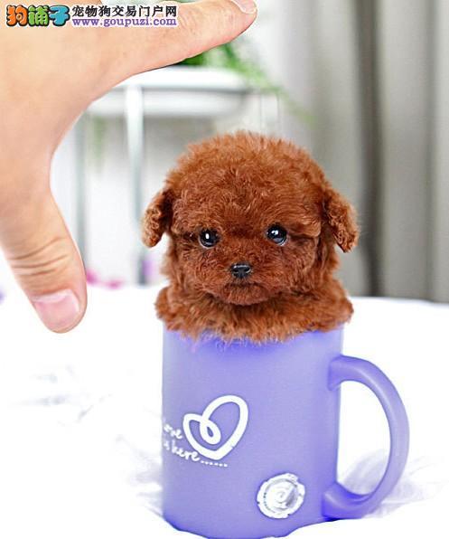 韩国进口纯种健康的玩具体茶杯体红色 咖啡色泰迪热卖2