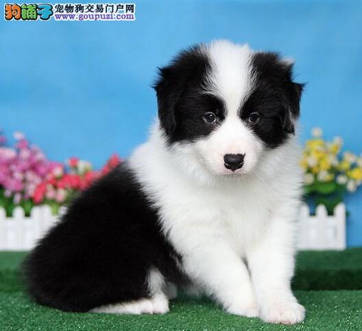 CKU认证犬舍/赛级边牧幼犬/纯种健康签订质保协议