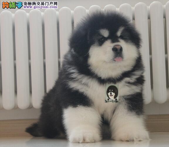 冠军品质的传承!专业繁殖巨型熊版纯种阿拉斯加雪橇犬1