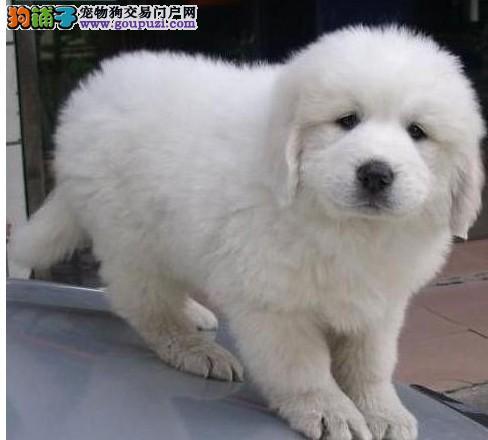 高端大白熊幼犬、欢迎选购信誉第一,实物拍摄可见父母、等您接它回家