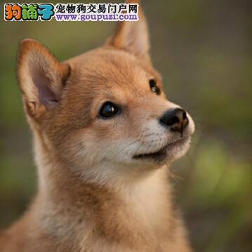 科学养犬步骤多 饲养柴犬的六大注意事项