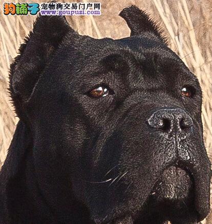 炼就火眼金睛识别健康与非健康的卡斯罗犬的区别