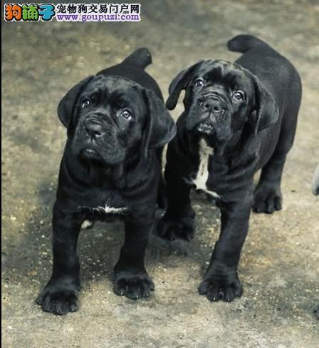 广州哪有卖护卫犬的看守犬卡斯罗犬3